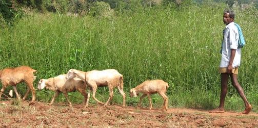 African shepherd